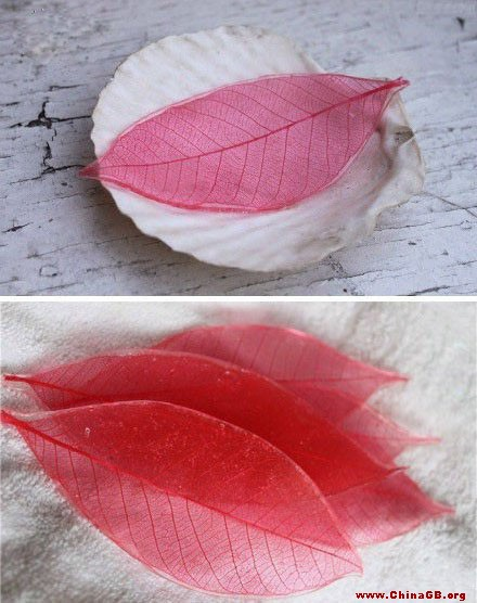 一、快速制作方法   1.选择叶片。 选择叶脉粗壮而密的树叶。在叶片充分成熟并开始老化的夏末或秋季选叶制作。   2.用10%的氢氧化钠溶液煮叶片。在不锈钢锅或铁锅内将配好的碱液煮沸后放入洗净的叶子适量,煮沸,这时常用玻棒或镊子轻轻翻动,防止叶片叠压,使其均匀受热。(应卡窗通风,因为煮叶片时有臭味)   3.